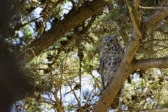 Christian Irian owl