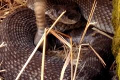 Lelena Avila rattlesnake
